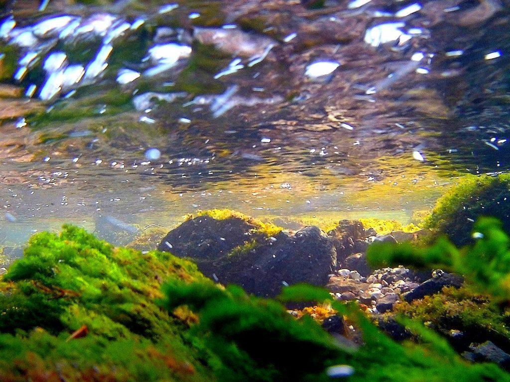 Alghe filamentose in natura