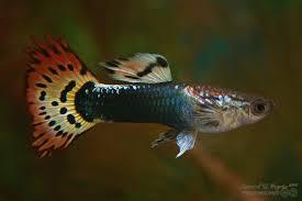 Pesci d'acquario che possono vivere senza riscaldatore