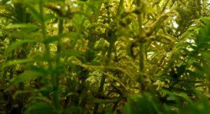 Egeria densa parzialmente coperta da sedimenti ricchissimi di microrganismi (foto web)