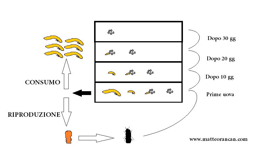 Schema allevamento Tenebrio molitor o tarma della farina con stadi divisi. Le uova grige, le larve gialle, la pupa arancio, l'adulto nero.